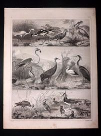 Heck 1849 Antique Bird Print. Spoonbill, Flamingo, Crane